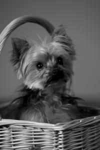 Headshot for Sugar (Dog)